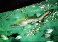 回遊するサメ